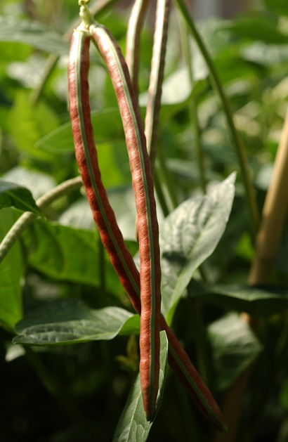 two ripe brown coloured cowpea pods hanging among green foilage