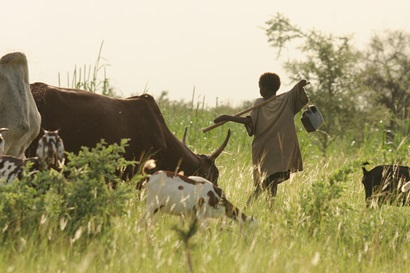 A small number of cattle and goats feed on grass while a young boy with a stick and water container look on
