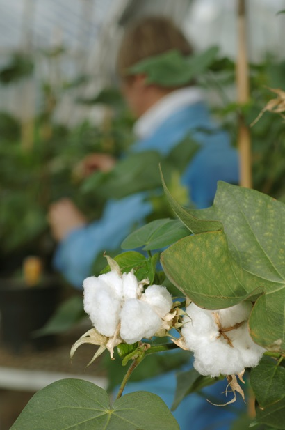 Cotton bolls on a plant in a glass house with researcher in background