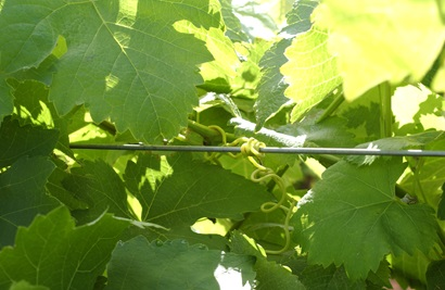 Image of a grapevine growing along a trellis.