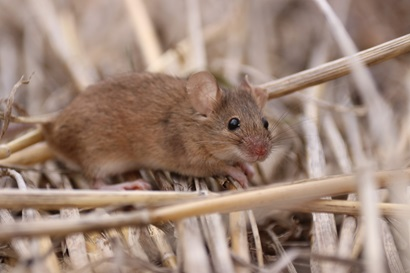 Picture of mouse in wheat stubble.