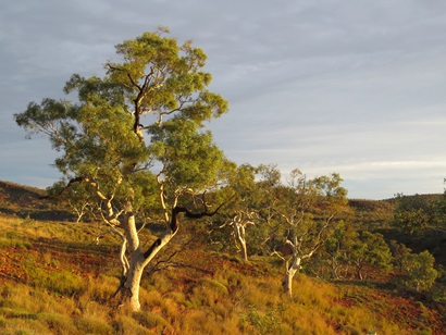Snappy gum over hummock grassland, Karijini National Park