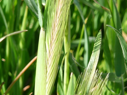 A young head of wheat in a field