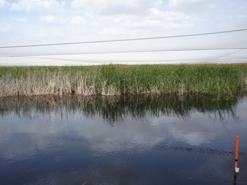 A wetland with water in the foreground and reedy looking plants in the background