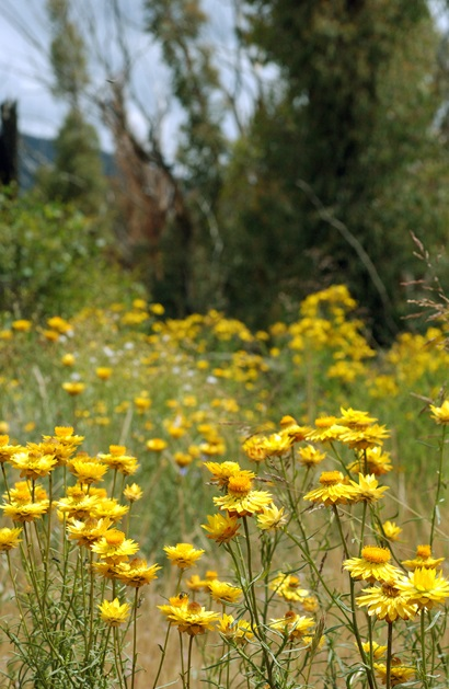 A meadow of yellow paper daisies with small trees in the background