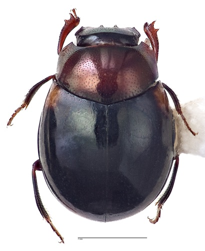 Lepanus storeyi beetle, a shiny mostly black beetle with a brown head