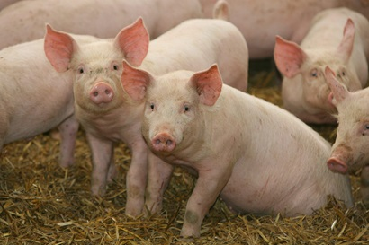 Five pink pigs sitting on straw with two looking directly at the camera