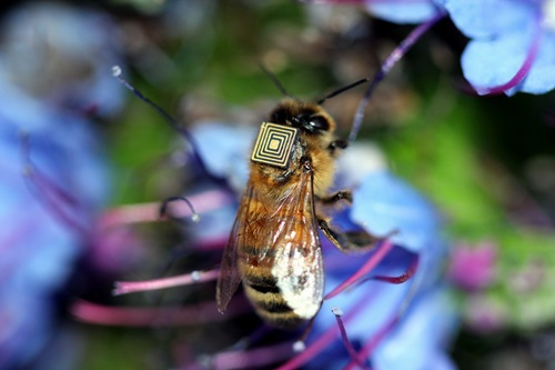 A honey bee with a sensor on its back.