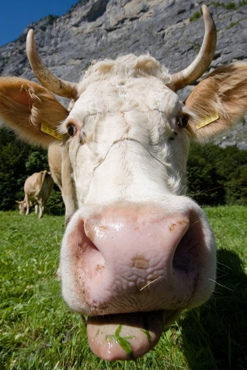 Close up of a cows face with the tongue sticking out.