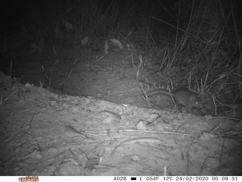 Black and white night vision image of a Kangaroo Island dunnart.