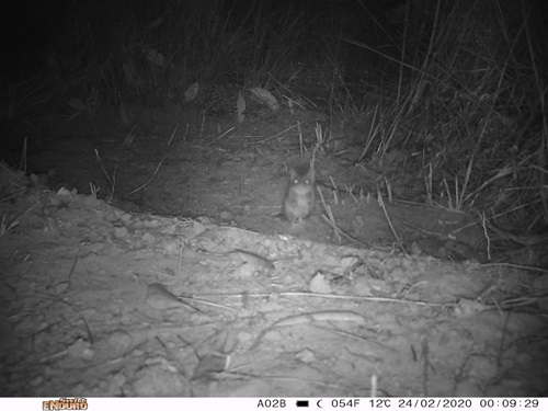Black and white night vision image of a Kangaroo Island dunnart