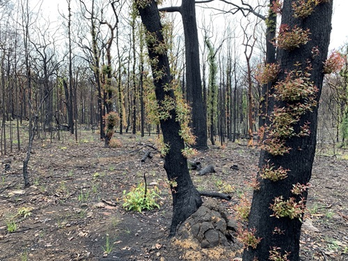 Bushfire affected land and plant species in the town of Bilpin, NSW are beginning to regenerate.