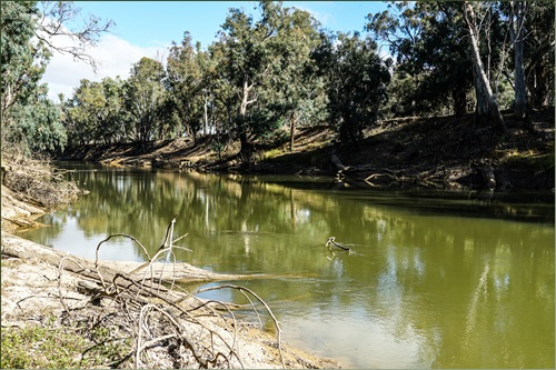 Section of the Goulburn River in Northern Victoria showing green algae coloured water with vegetated banks either side.