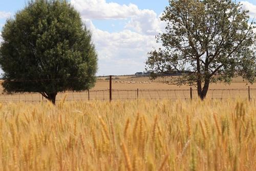 Wheat and sheep