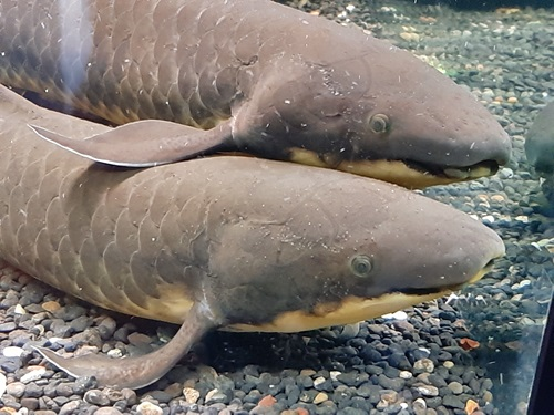 Two lungfish side by side, one with its fin on the back of the other.