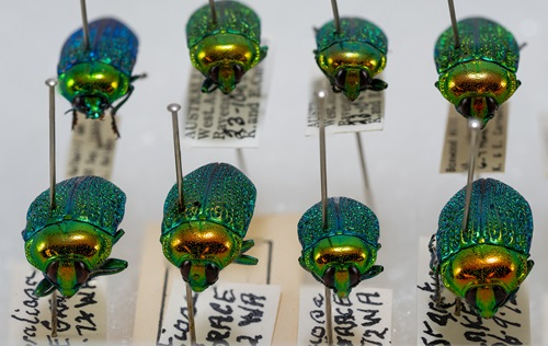 Some of the beautiful jewel beetles in the Australian National Insect Collection.