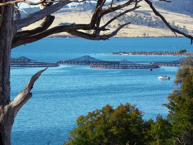 A view through the trees of a Tasmanian aquaculture salmon farm