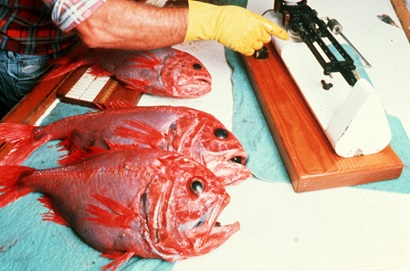 Three orange roughy on a bench with measuring equipment