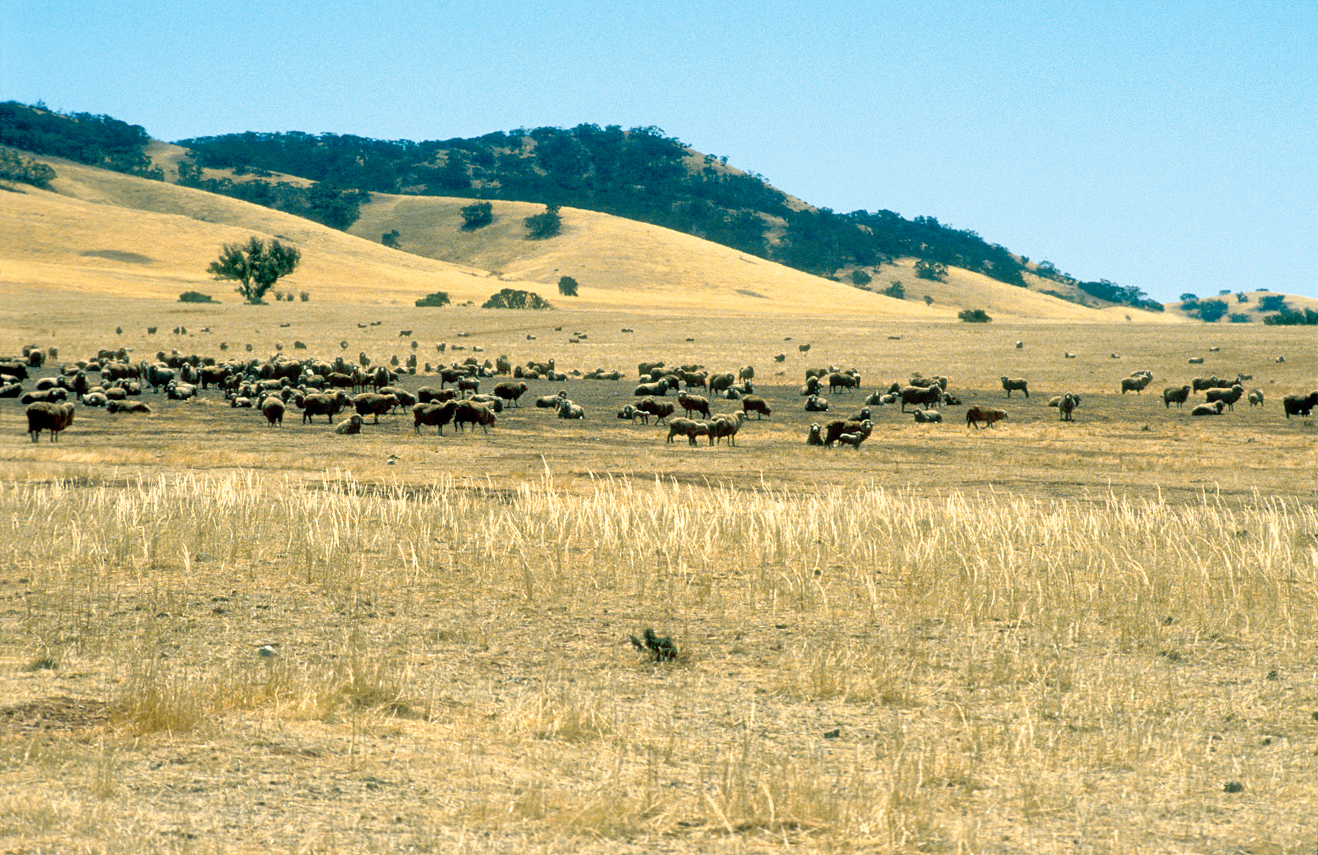 Sheep in semi arid region north east of Burra, South Australia. 1992.  Dry landcsape featuring flock of sheep