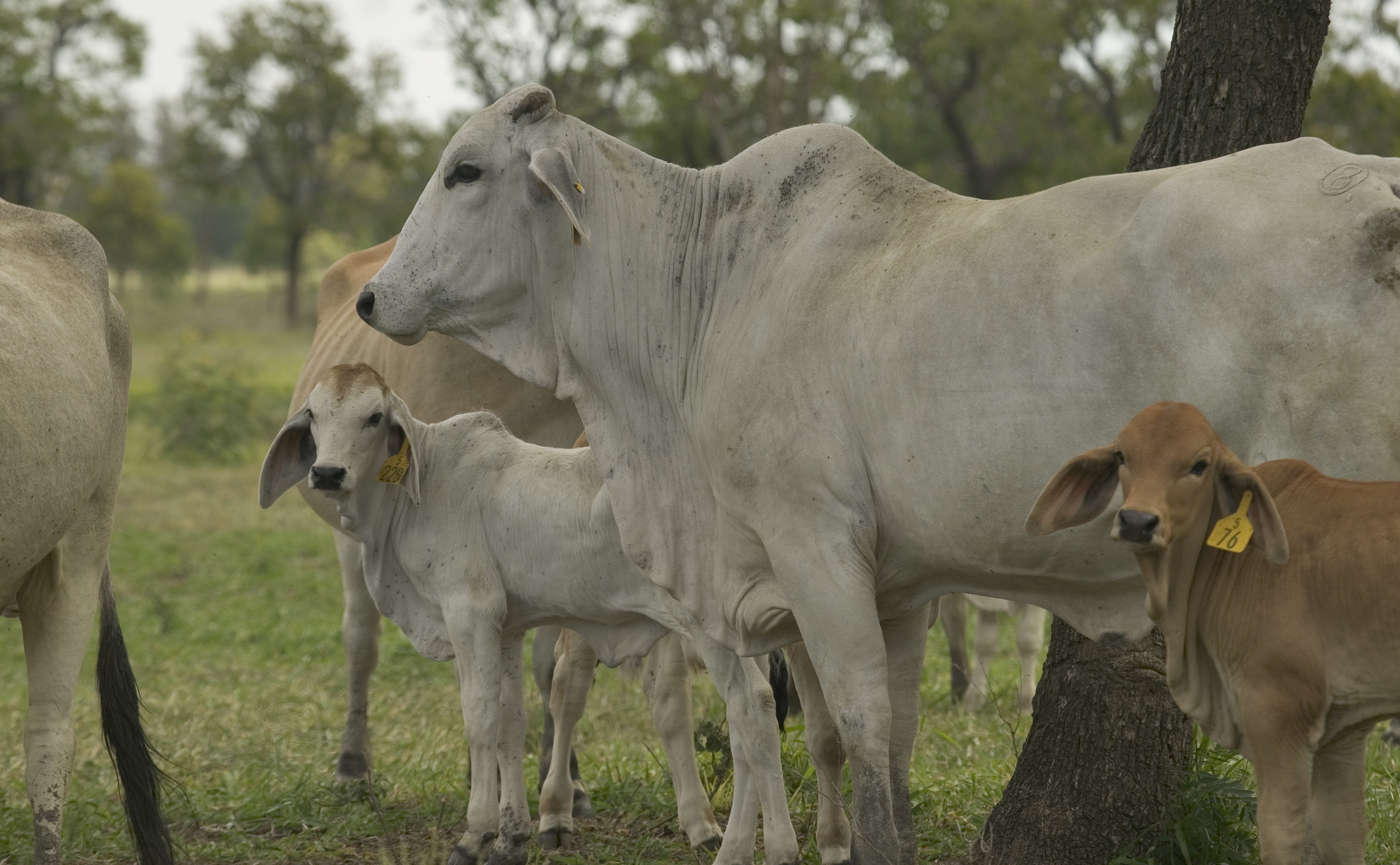 a group of cattle and their calves stand under a tree