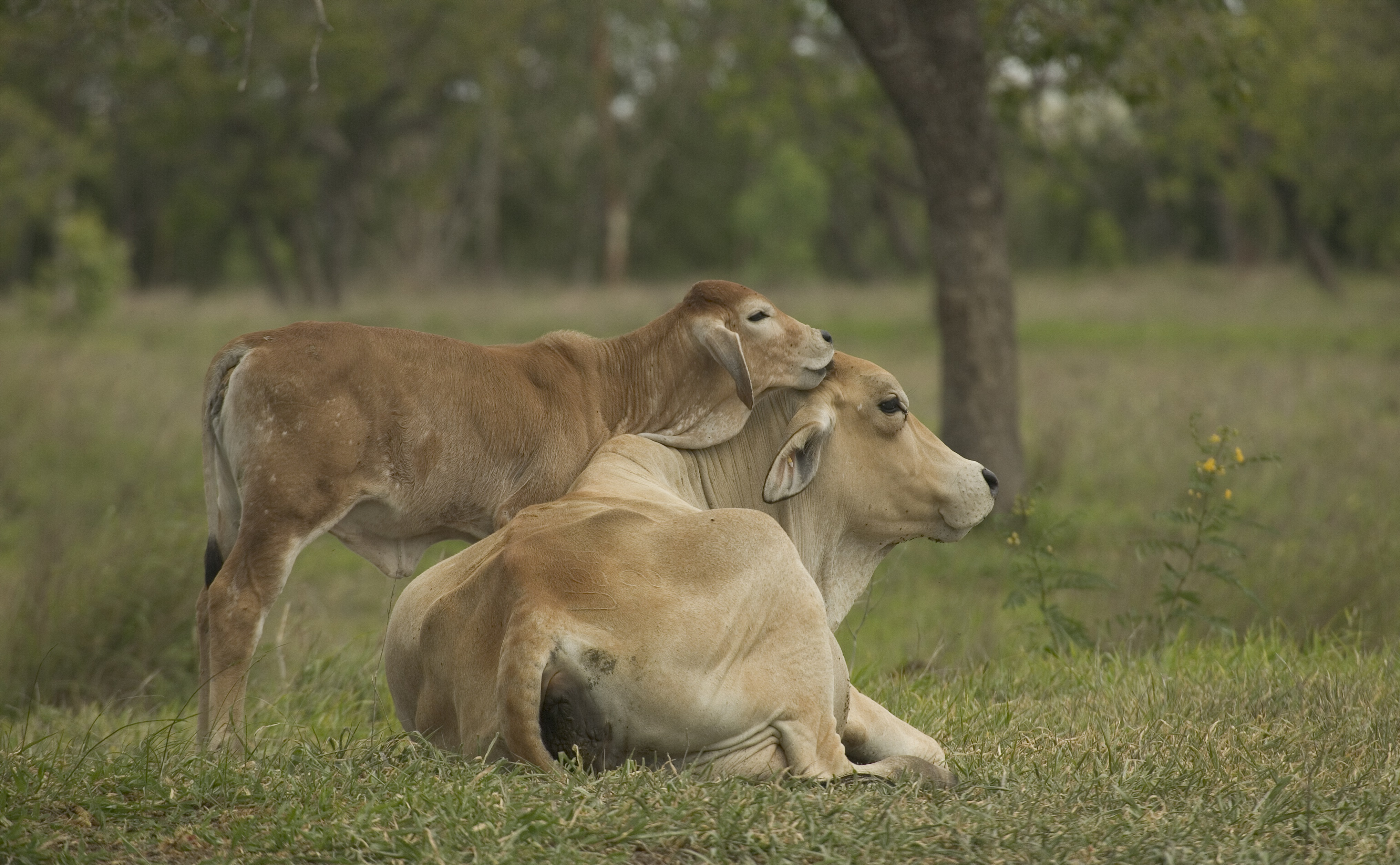 A baby jersey calf nuzzles its mother as she sits in a paddock.