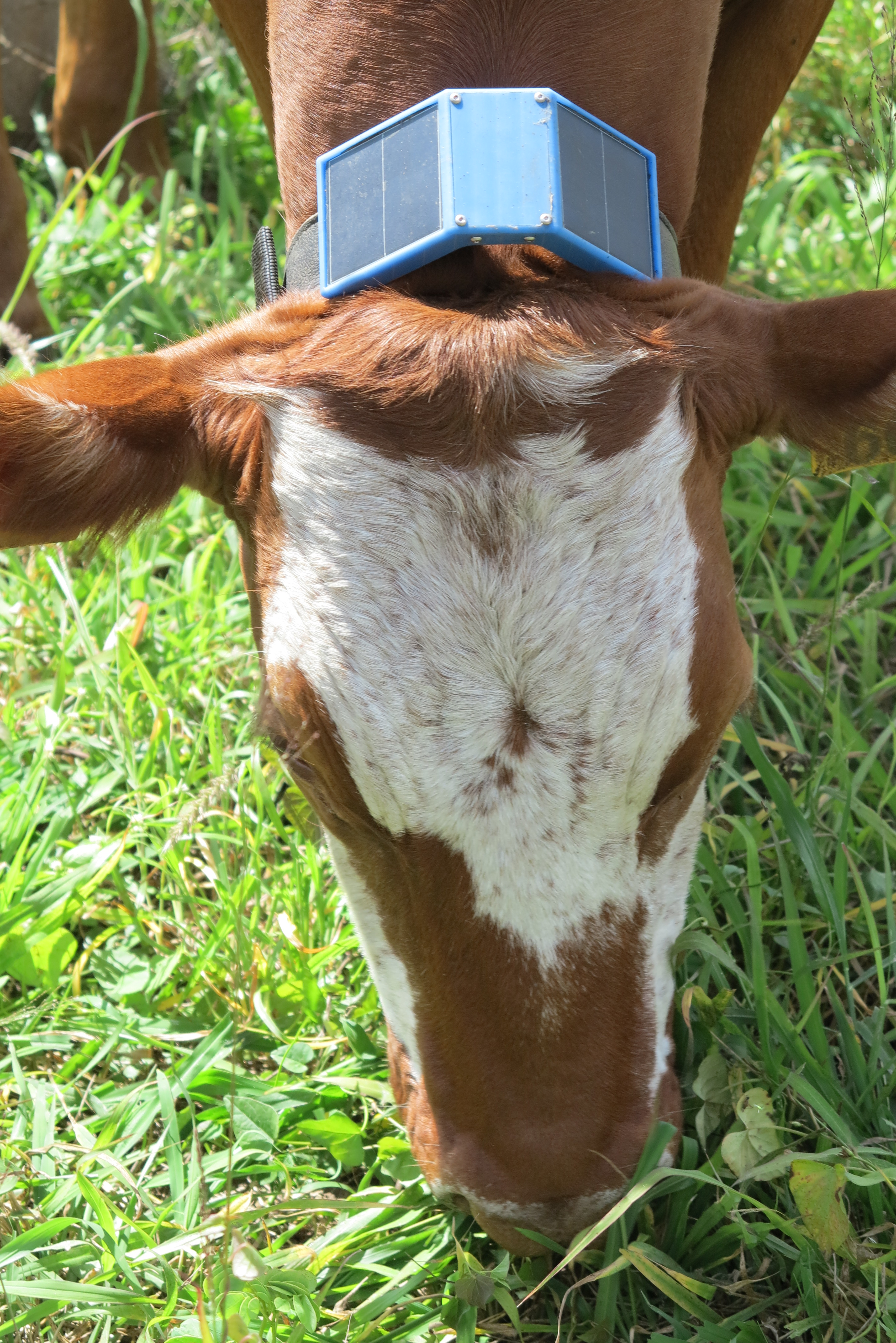 The head of a grazing cow with a small solar-panel on a collar around the cow's neck