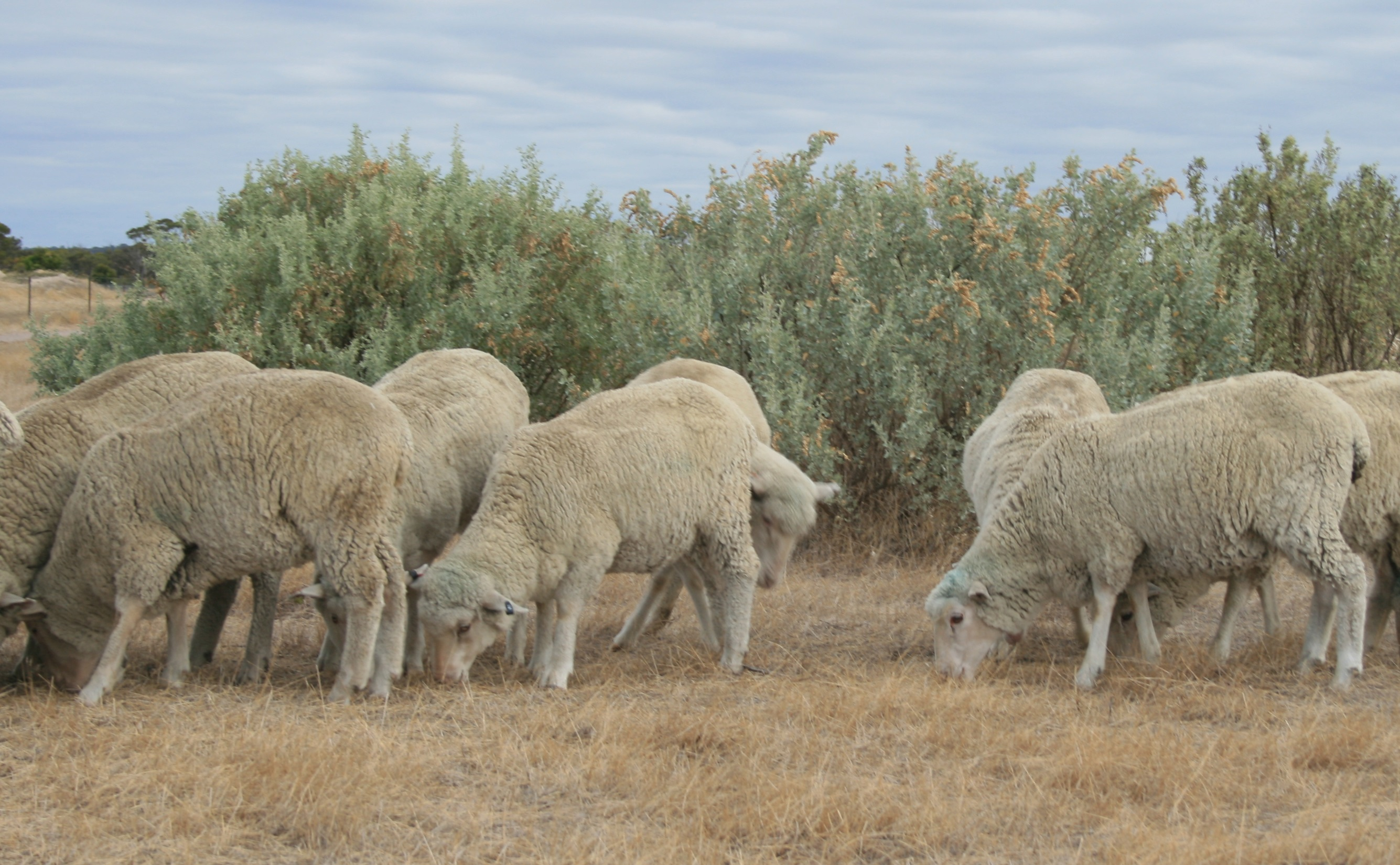 a group of sheep grazing by some bushes