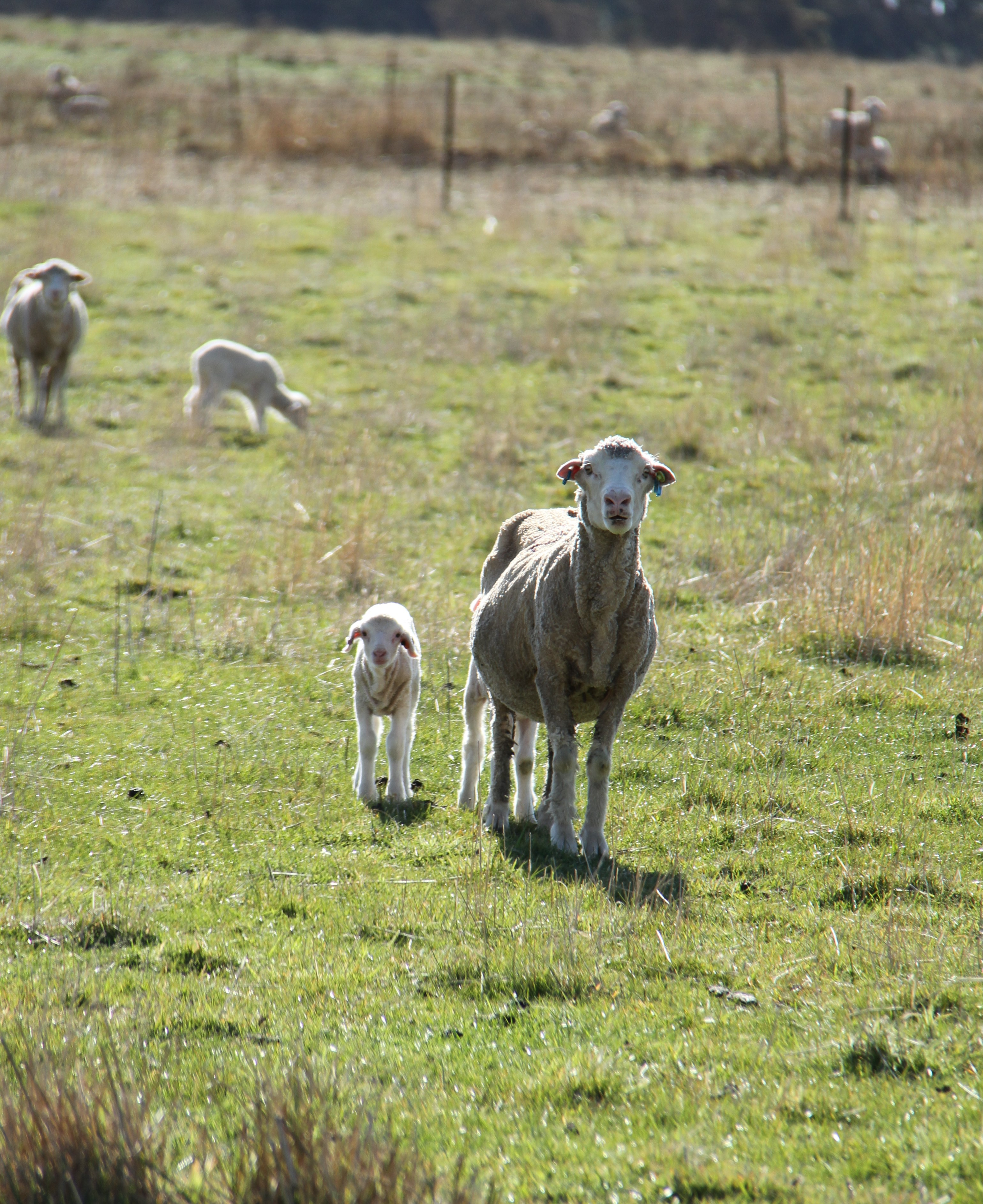 Ewe and lamb in a paddock