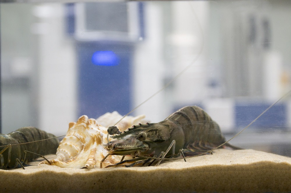 A prawn in a tank, inside a laboratory