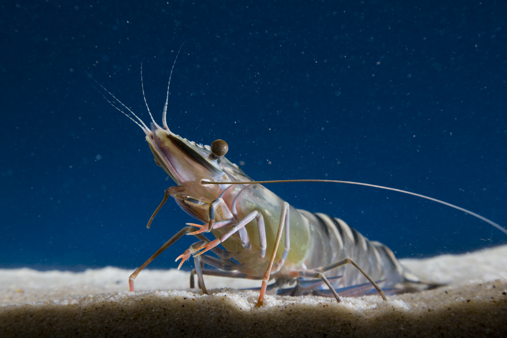 a black tiger prawn sits at the bottom of a tank diagonally facing the camera.