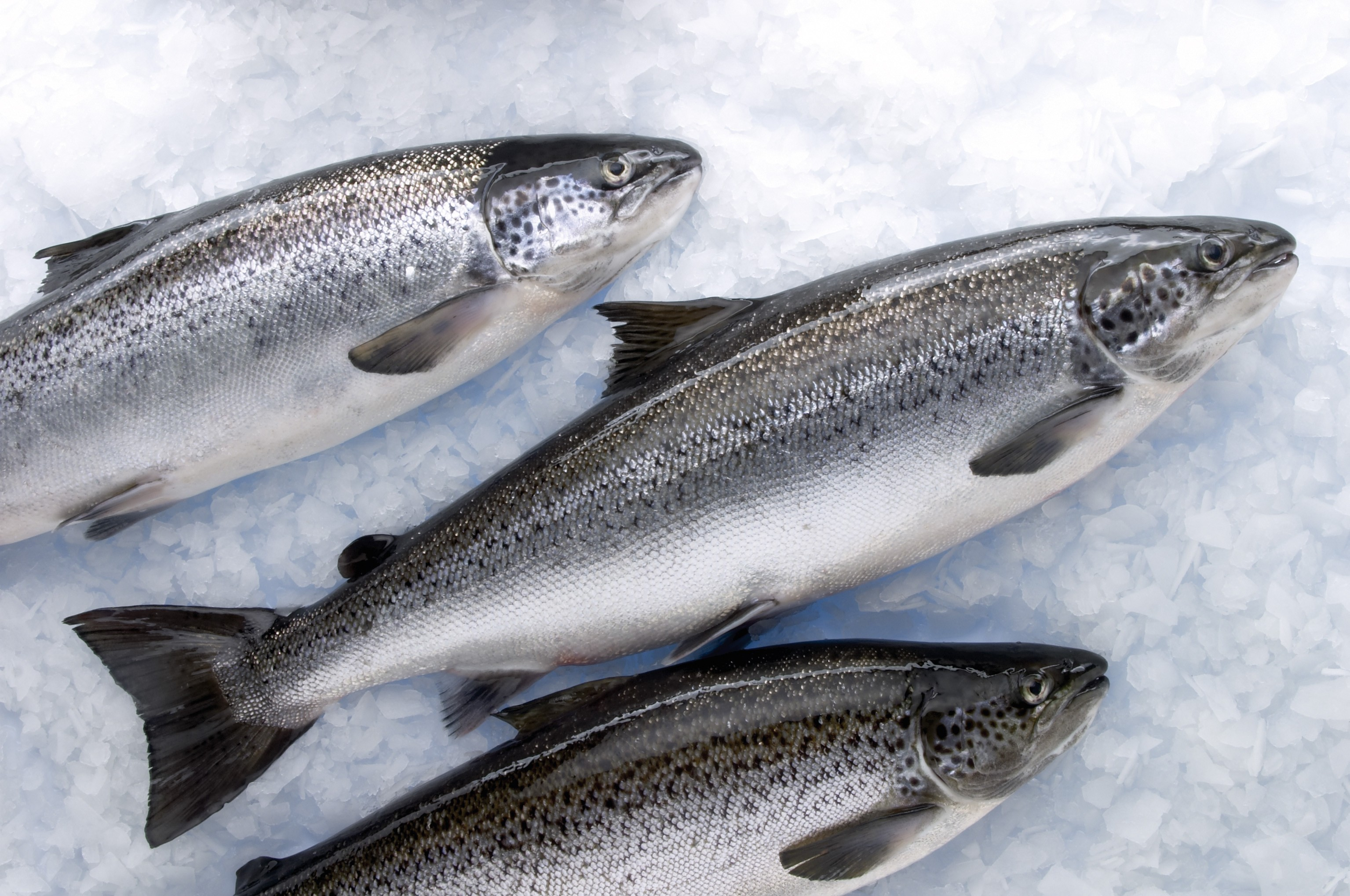 three salmon displayed laying diagonally, tail bottom left up to head top right, on ice.