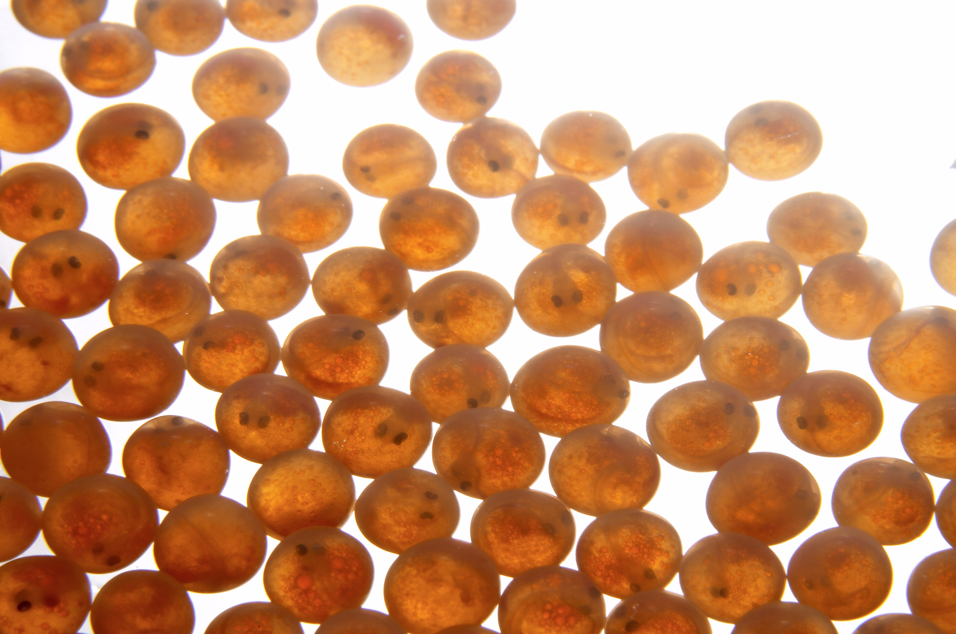 salmon roe which look like small orange/brown spheres on a bright white background.