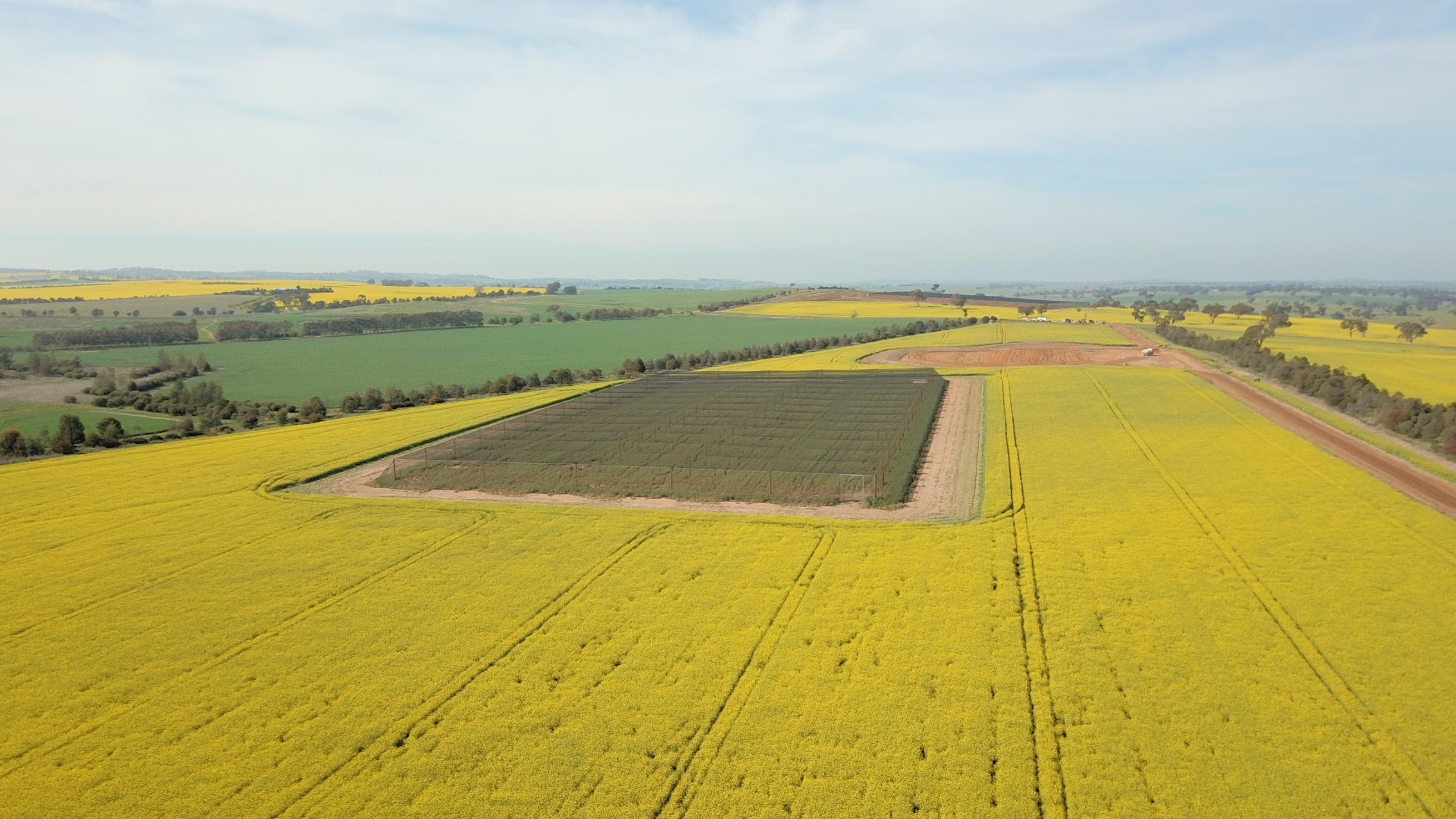 Canola in flower at CSIRO's Boorowa Agricultural Research Station