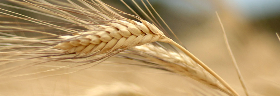 Close up of a ripe head of wheat.