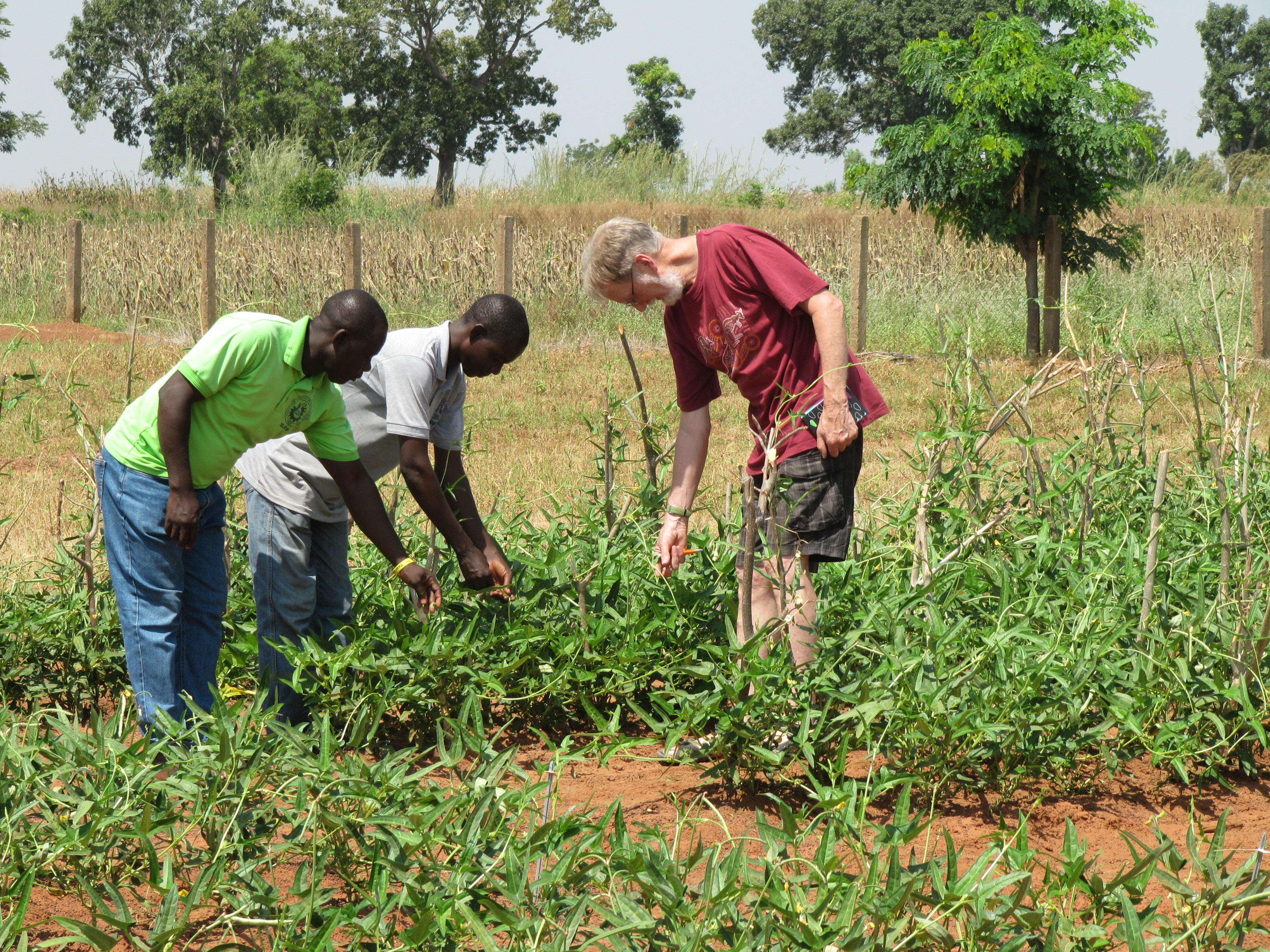 Dr TJ Higgins and two African colleagues inspecting cowpeas in a field test in Ghana.
