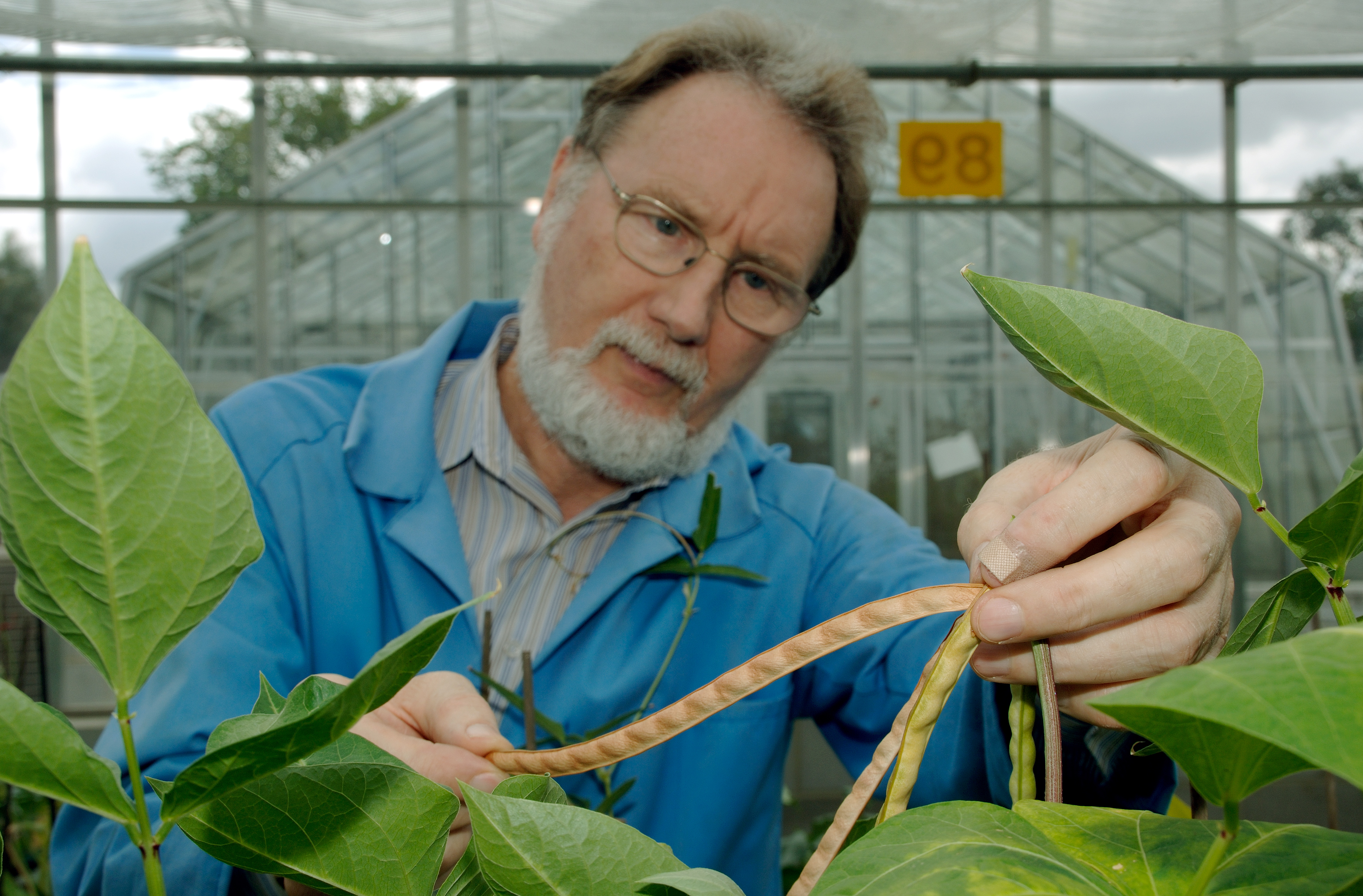 Dr TJ Higgins inspecting a cowpea pod in a glasshouse trial in Canberra, Australia