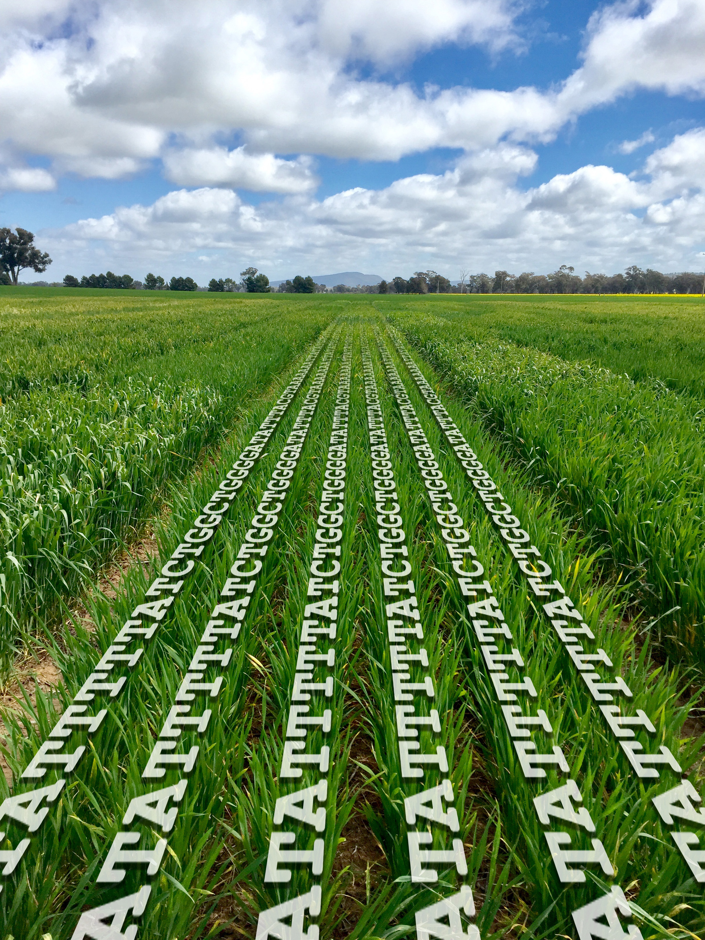 Crops growing in a field with letters in rows amongst the green crop