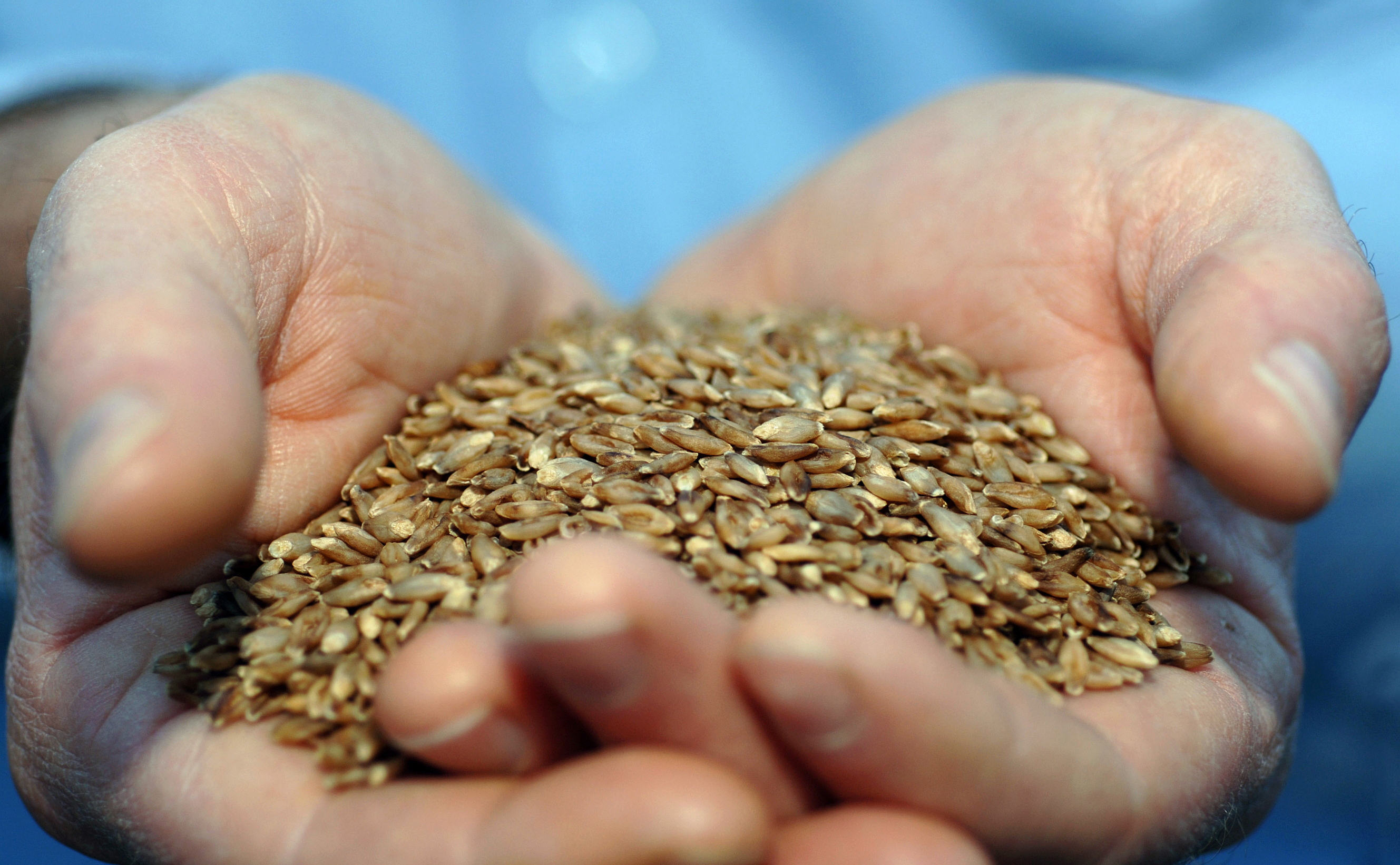 Cupped hands holding a handful BARLEYmax grains.
