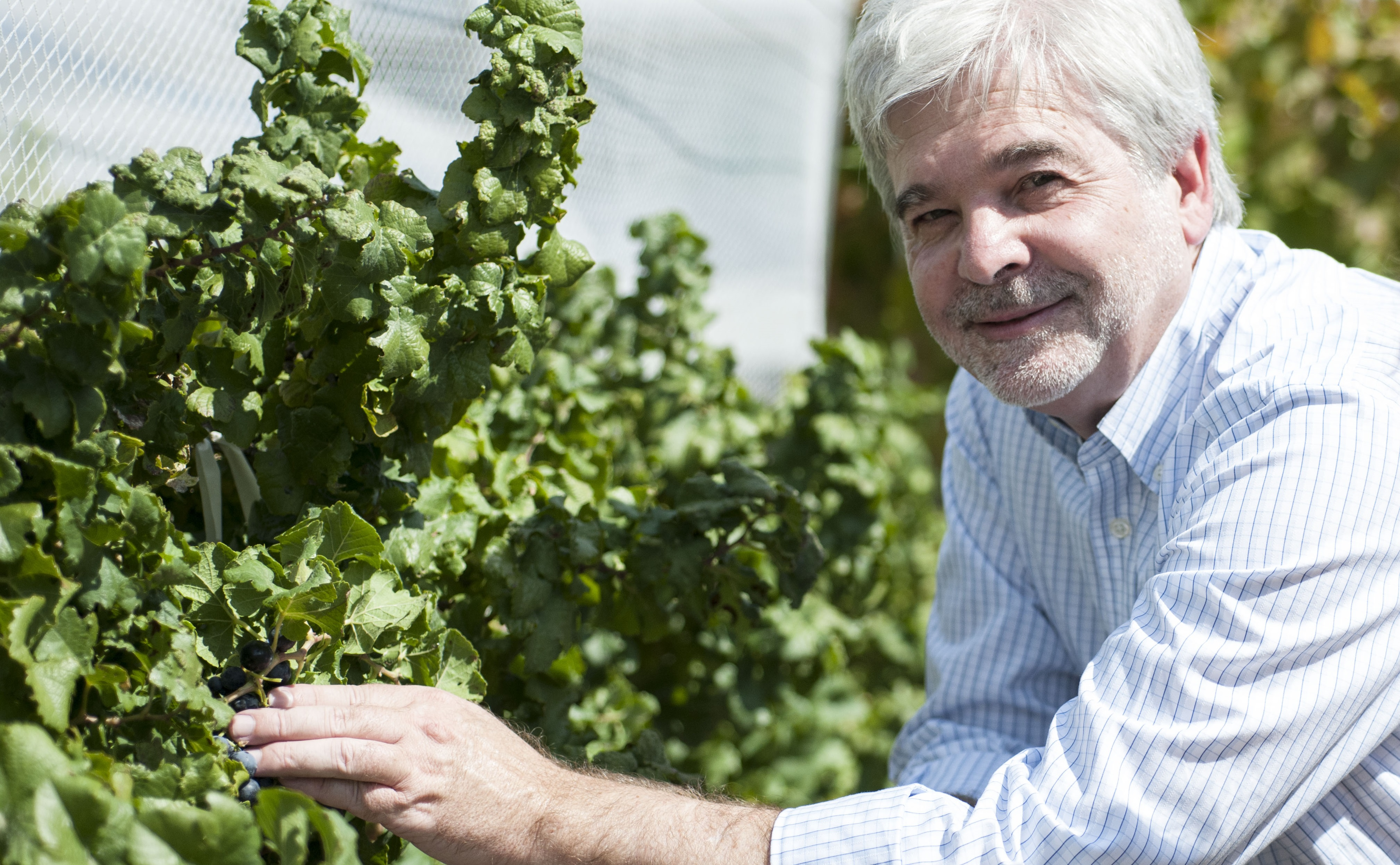 Dr Mark Thomas kneeling next to a microvine in the netted vineyard, Waite Campus Adelaide.