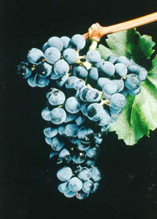 a bunch of blue-purple wine grapes