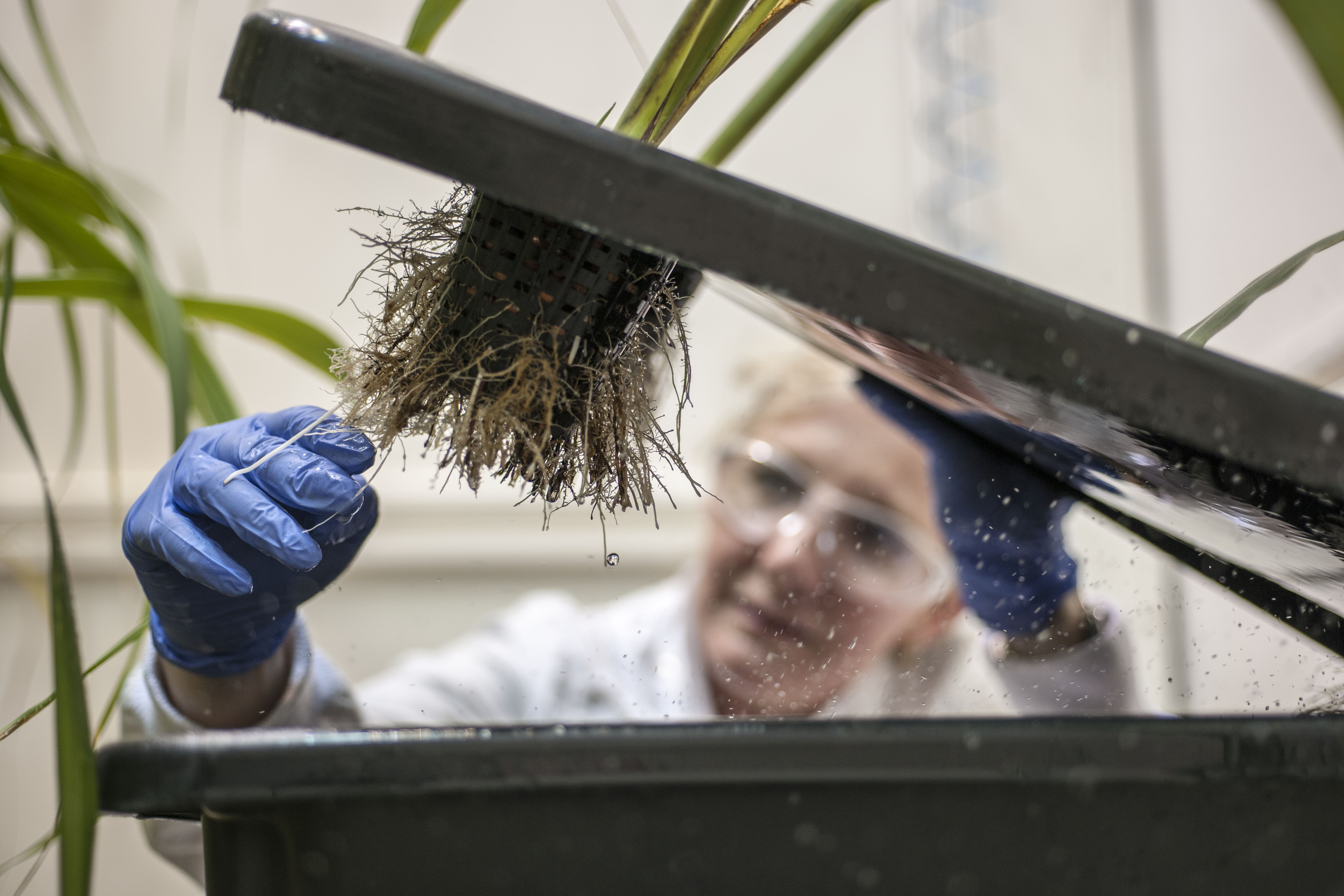 a feamle scientist slight out of focus in the background listing a lid of a large black container through which a sugarcane plant is growing. on the underside of the lid you can see the soil mass and roots fo the sugarcane.