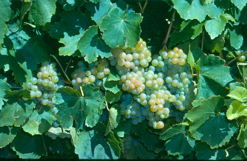 Plump bunches of green Taminga wine grape hanging on the vine