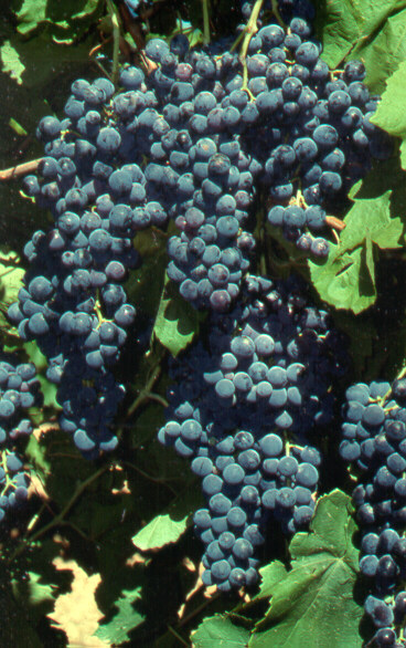 Bunches of black-blue wine grapes growing on a vine.