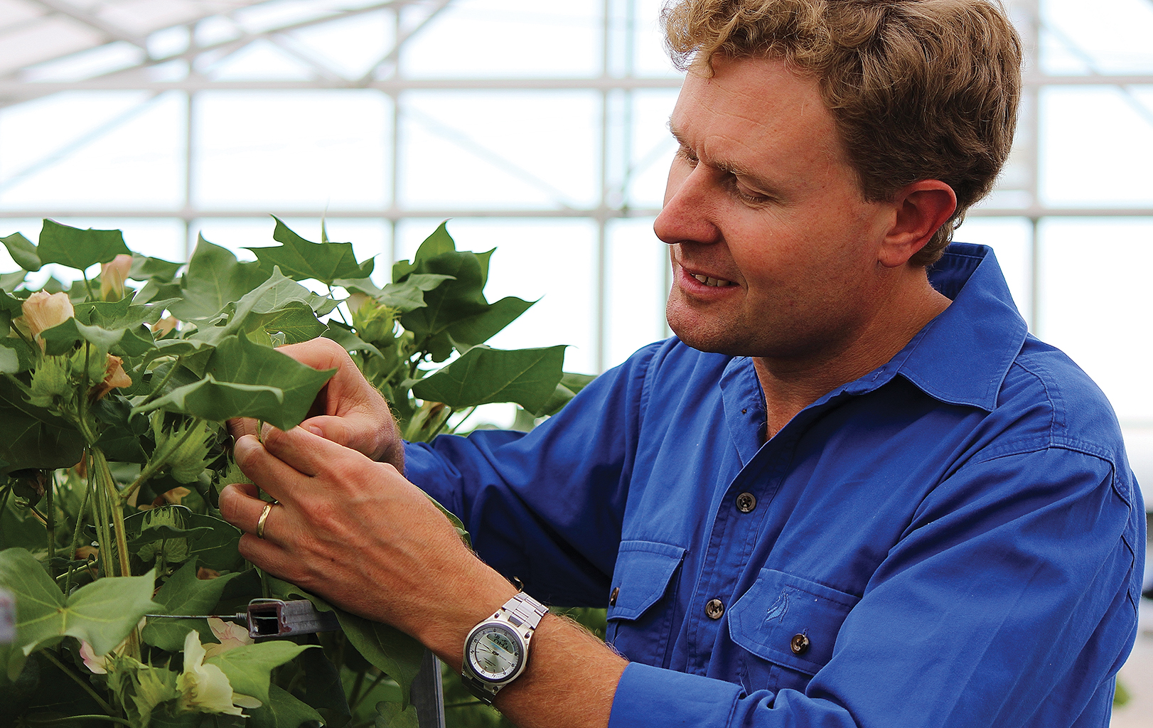 Scientist examining cotton plant in a glasshouse.