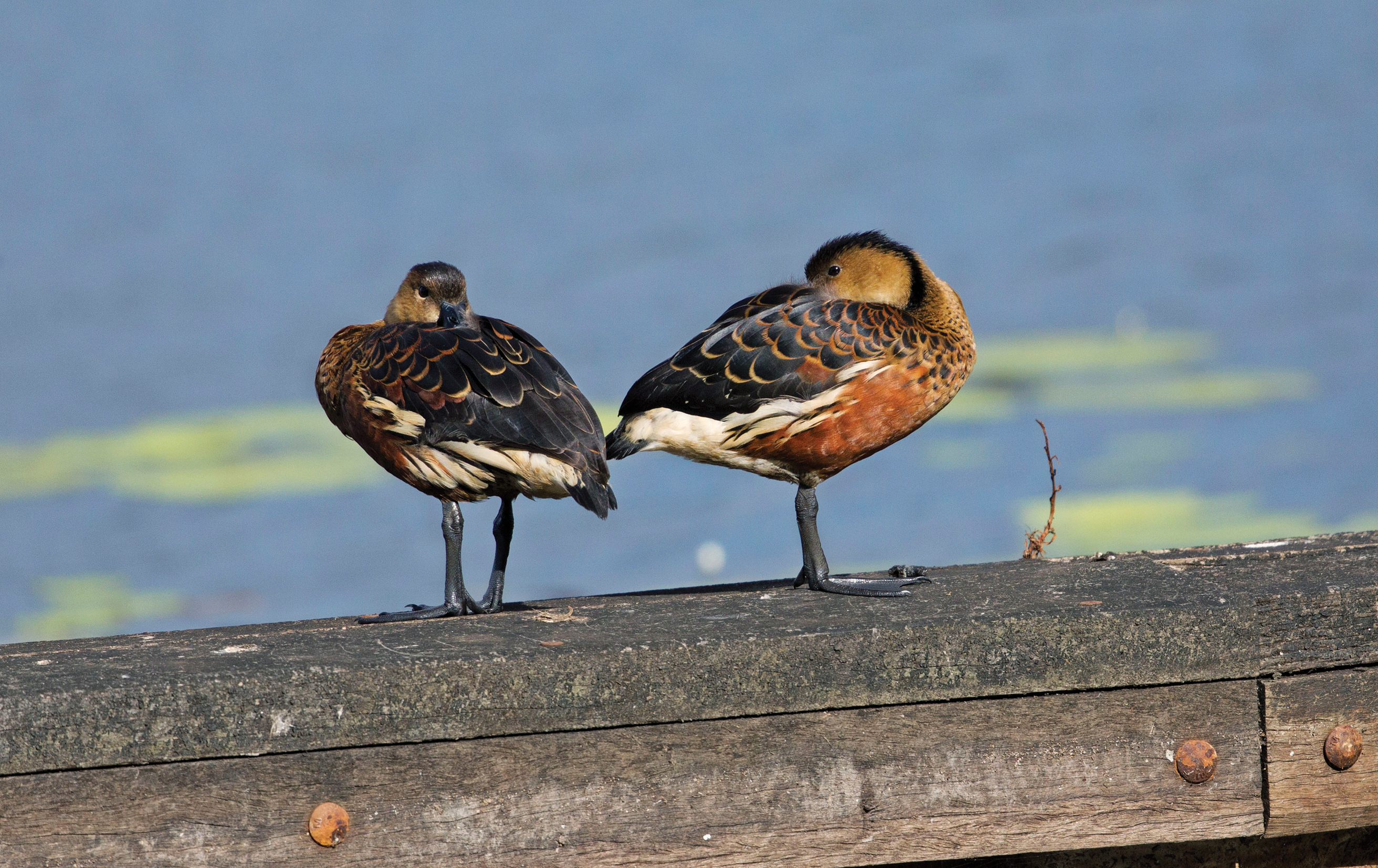 Two ducks standing on a wall.