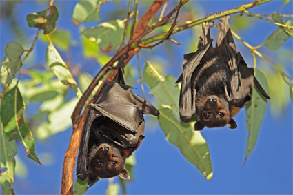 Two bats hanging outside down from a branch.