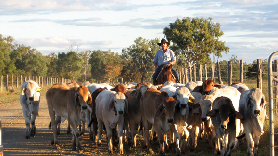 Mustering cattle without horns.