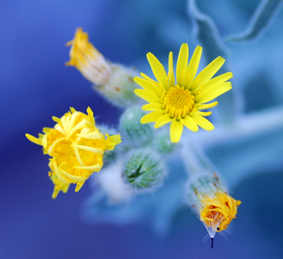 Pretty yellow flowers with a blue background.