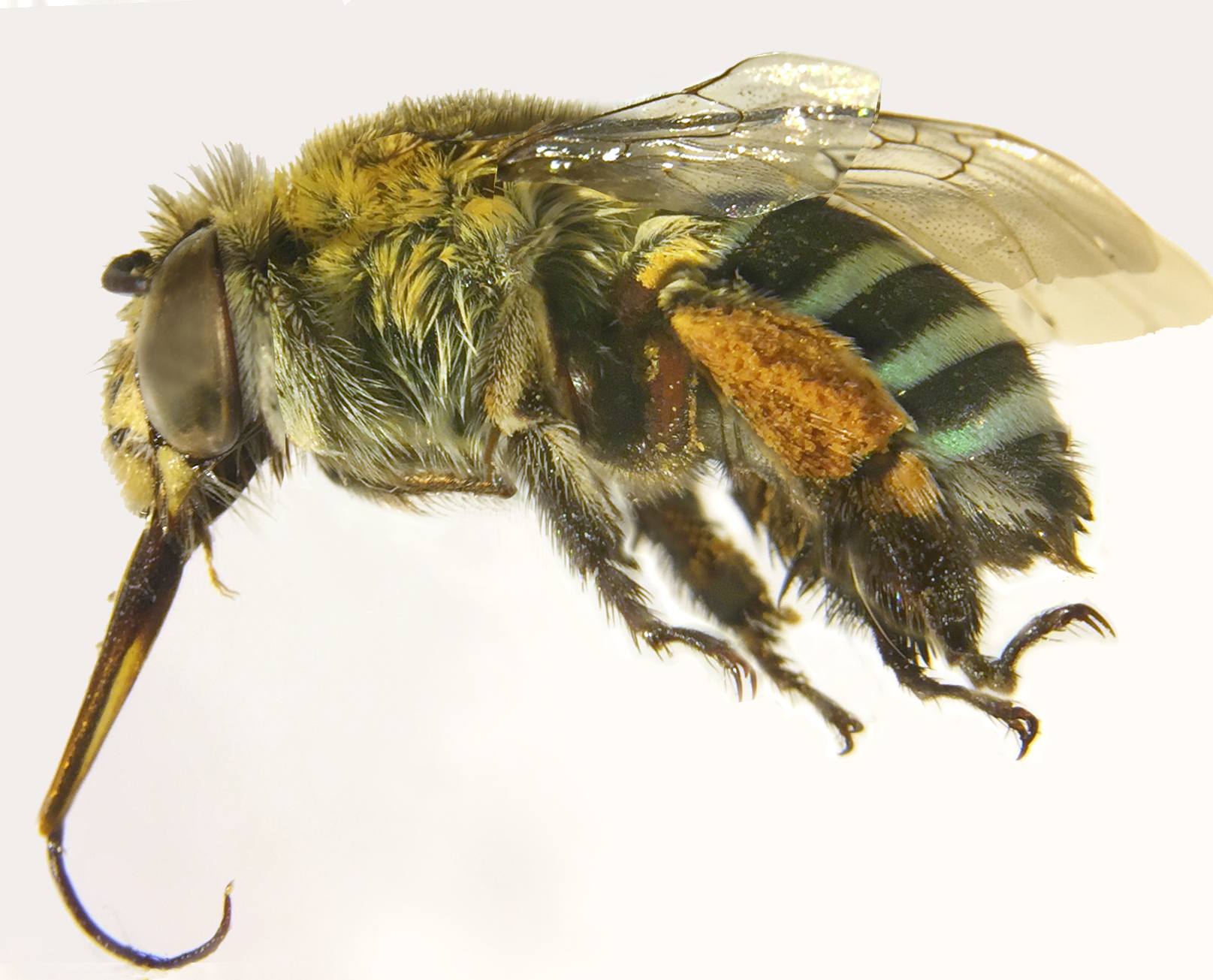 A native blue-banded bee, collected in 1971, still has pollen stuck to its legs.