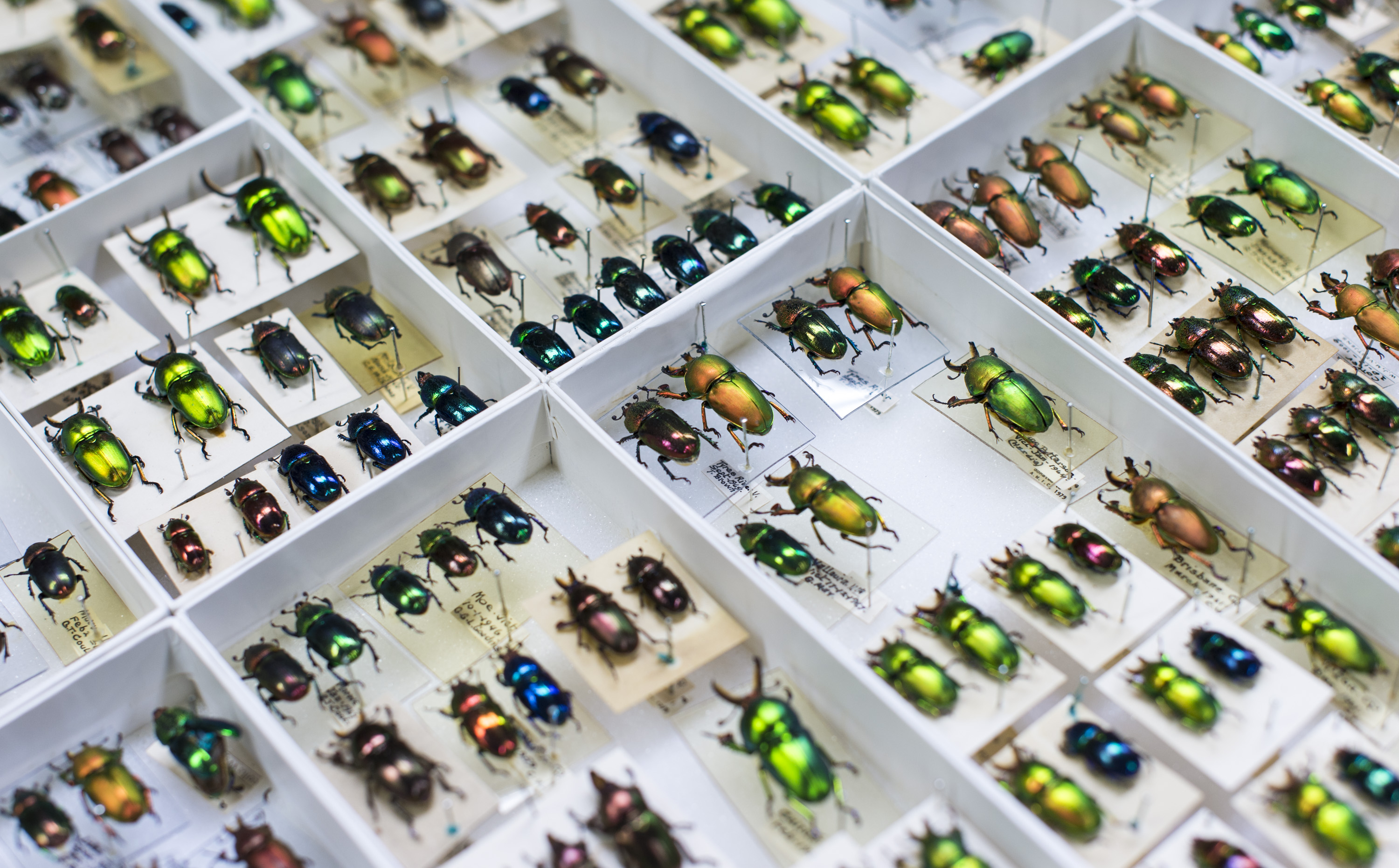 Specimen trays containing pinned beetles.